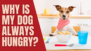 Why Is My Dog Always Hungry?
