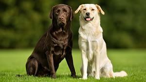 Golden Retriever vs. Labrador Retriever – Which is Better?