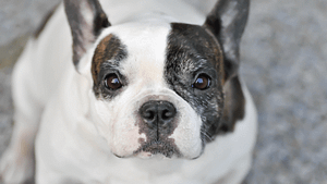 Boston Terrier vs. French Bulldog – Which is Better?