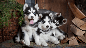 Alaskan Malamute vs. Siberian Husky – Which is Better?