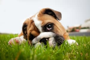Why is My Dog Eating Poop?